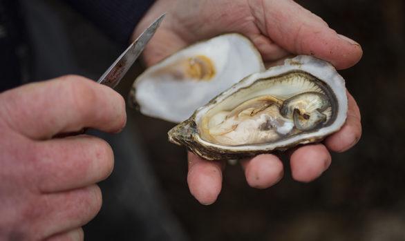 Irish Premium Oysters 1